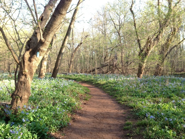 The bluebells in full bloom - magical!