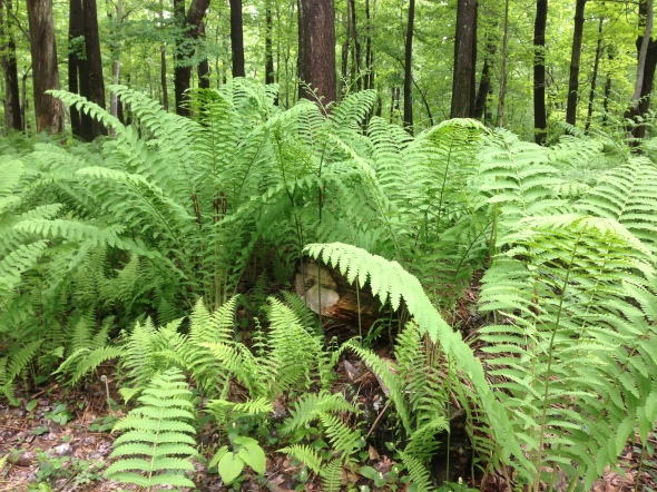huge ferns